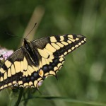 Machaon - Photo : Jeremy Trannoy